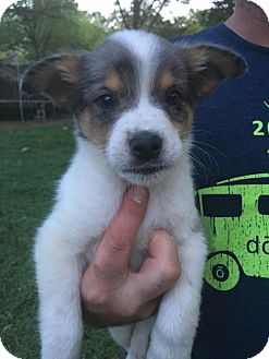 Australian Shepherd Mix Puppy for adoption in Glastonbury, Connecticut - Fiddle