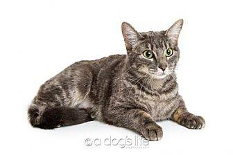 Domestic Shorthair Cat for adoption in Tempe, Arizona - Jackie