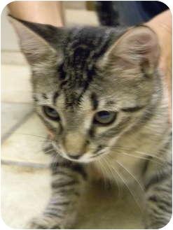 Domestic Shorthair Kitten for adoption in Naples, Florida - Mika