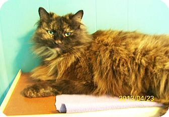 Domestic Longhair Cat for adoption in Dover, Ohio - Jinx