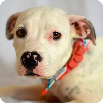 Labrador Retriever/Pit Bull Terrier Mix Puppy for adoption in Gilbert, Arizona - Lovey
