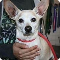 Adopt A Pet :: Peanut-Chiweenie! - Canoga Park, CA