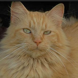 Domestic Longhair Cat for adoption in Des Moines, Iowa - OSCAR