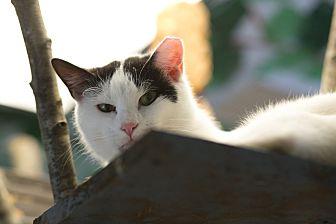 Domestic Shorthair Cat for adoption in Walden, New York - Ozzy Ozborne