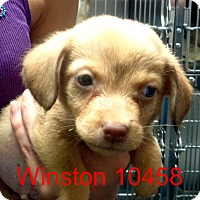 Adopt A Pet :: Winston - Greencastle, NC