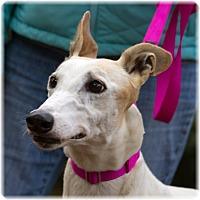 Adopt A Pet :: Wheely - Harrisburg, PA