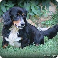 Dachshund Dog for adoption in Greenville, South Carolina - Kendrick