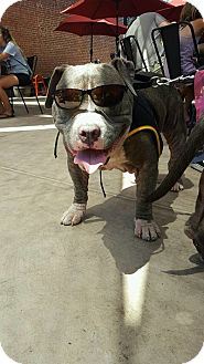 Pit Bull Terrier Mix Dog for adoption in Sacramento, California - Teddy