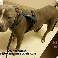 Pit Bull Terrier Dog for adoption in Spring, Texas - Hippo