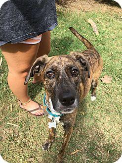 Greyhound/Hound (Unknown Type) Mix Dog for adoption in Allentown, Pennsylvania - Marley (ETAA)