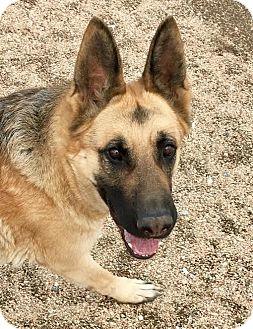 German Shepherd Dog Dog for adoption in Federal Way, Washington - Annabelle - Sweet and Polite