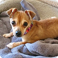 Adopt A Pet :: Pebbles - Los Angeles, CA