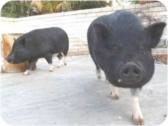 Pig (Potbellied) for adoption in Las Vegas, Nevada - Bonnie & Clyde