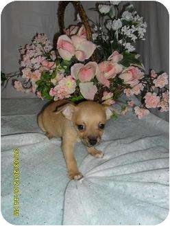 Chihuahua Puppy for adoption in Chandlersville, Ohio - Puppy 4