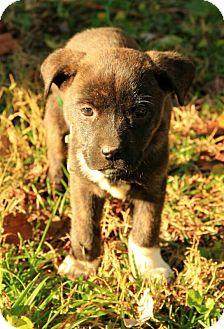 Boxer/Terrier (Unknown Type, Medium) Mix Puppy for adoption in Allentown, Pennsylvania - Channing