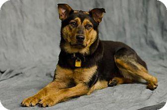 Corgi/Shepherd (Unknown Type) Mix Dog for adoption in Saskatoon, Saskatchewan - Ryder