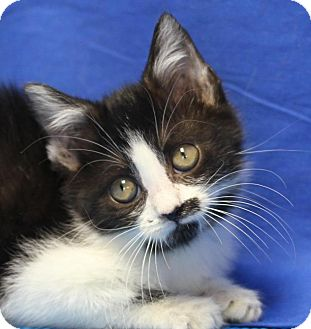 Domestic Shorthair Cat for adoption in Winston-Salem, North Carolina - Sera