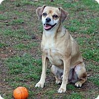 Adopt A Pet :: Kipper - Naugatuck, CT