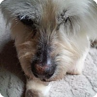 Yorkie, Yorkshire Terrier Mix Dog for adoption in Alpharetta, Georgia - Taolynn