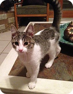 Domestic Shorthair Cat for adoption in Houston, Texas - Pressie