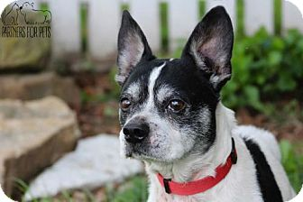 Boston Terrier/Jack Russell Terrier Mix Dog for adoption in Troy, Illinois - Mannie Fostered (Darlene)