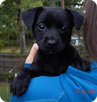 Labrador Retriever/Retriever (Unknown Type) Mix Puppy for adoption in Niagara Falls, New York - Shae (5 lb) Video!