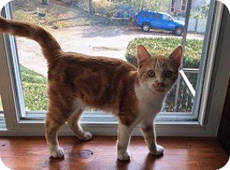 Domestic Shorthair Kitten for adoption in Danbury, Connecticut - Miller