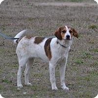 Beagle Mix Dog for adoption in Lebanon, Missouri - Bayley
