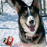 Adopt A Pet :: Whiskey - Ottawa, ON