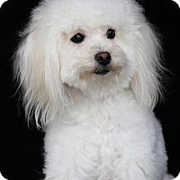 Adopt A Pet :: Lady - SAN PEDRO, CA
