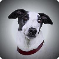 Adopt A Pet :: Indi - Woodinville, WA
