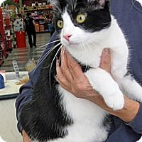 Domestic Shorthair Cat for adoption in San Pedro, California - Clark