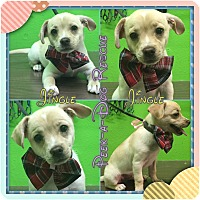 Adopt A Pet :: Jingle - South Gate, CA