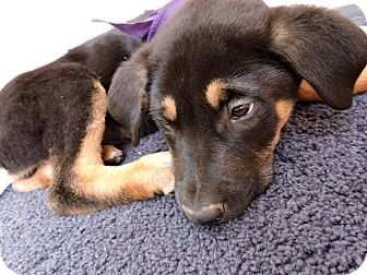 Shepherd (Unknown Type) Mix Puppy for adoption in Detroit, Michigan - Ross-Adopted!