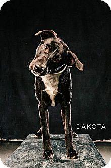 Akita/German Shorthaired Pointer Mix Dog for adoption in Spring, Texas - Dakota