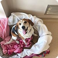 Adopt A Pet :: Darla Mae - Newport, KY