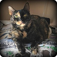 Domestic Shorthair Cat for adoption in St. Louis, Missouri - Minnie