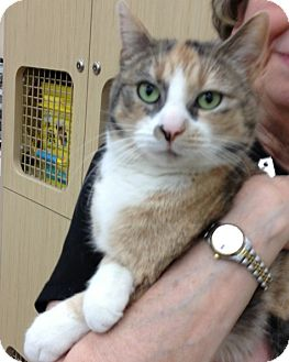 Domestic Shorthair Cat for adoption in Troy, Ohio - Evanthia