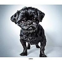 Adopt A Pet :: Domino - New York, NY