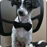 Adopt A Pet :: Dakota - Rockwall, TX