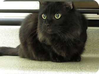 Domestic Longhair Cat for adoption in Windsor, Virginia - Captain