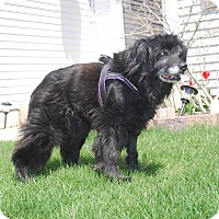 Cocker Spaniel Mix Dog for adoption in Naperville, Illinois - Hope-23 pnds