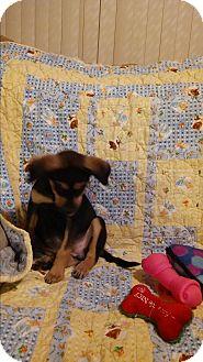 Shepherd (Unknown Type)/Rottweiler Mix Puppy for adoption in Hainesville, Illinois - Regan
