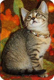 Domestic Shorthair Kitten for adoption in Washburn, Wisconsin - Paddington Bear