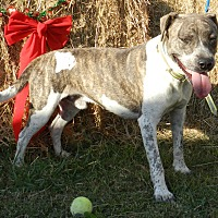 American Bulldog Mix Dog for adoption in Lawrenceburg, Tennessee - Rocky