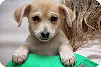 Schnauzer (Standard) Mix Puppy for adoption in Fort Atkinson, Wisconsin - Frost