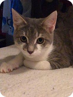 Domestic Mediumhair Kitten for adoption in Harrisburg, North Carolina - Hobbs