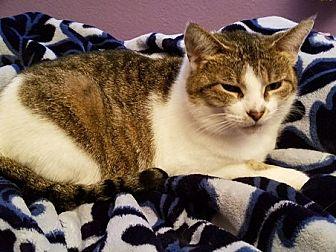 Domestic Shorthair Cat for adoption in Toledo, Ohio - Lizzie