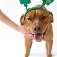 Hound (Unknown Type)/Retriever (Unknown Type) Mix Dog for adoption in Marietta, Georgia - Maddie