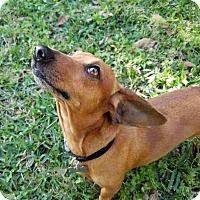 Adopt A Pet :: Caitlyn - San Antonio, TX